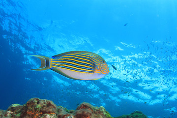 Fish in blue water. Striped Surgeonfish