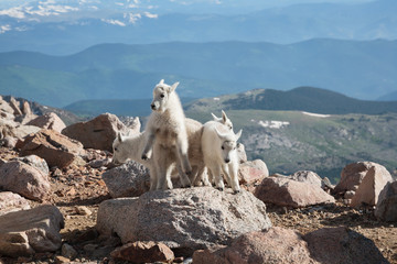 Wild Mountain Goats of the Colorado Rocky Mountains