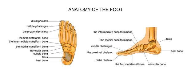 anatomy of a skeleton foot