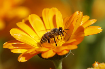 File photograph shows a bee sitting on a Marigold flower in a field of a private plantation near the village of Pishchalovo