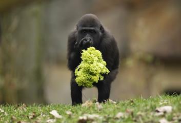 One year-old gorilla Uzuri eats a salad at the zoo of Duisburg
