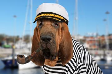 The skipper Bloodhound dog