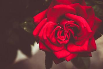 Rose de mon jardin !