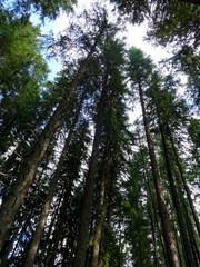 Coniferous forest in Demanovska Valley