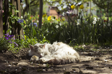 Old white cat sleeping in the background of spring flowers