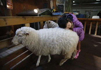 A girl plays with sheep at a sheep cafe in Seoul