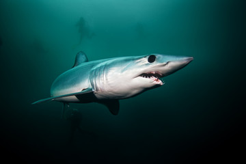 Mako shark, Isurus oxyrinchus, Atlantic ocean, Simon's Town, South Africa