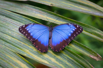 Peleides Blue Morpho butterfly also called the Emperor butterfly