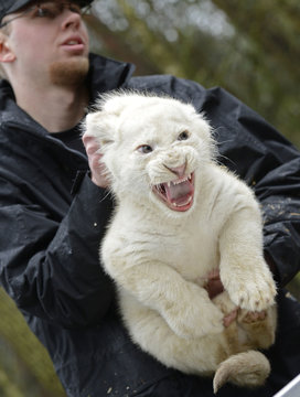 An eight-week-old white lion cub roars as he receives his first medical check-up at the safari-park in Hodenhagen