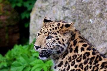 Close up of a beautiful leopard face with its mouth open. Space for text.