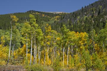 Mature Aspen Trees in Autumn