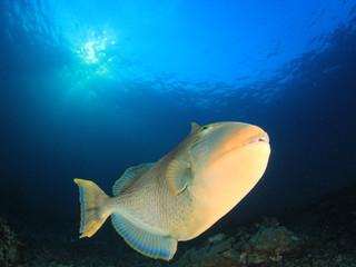 Yellowmargin Triggerfish fish