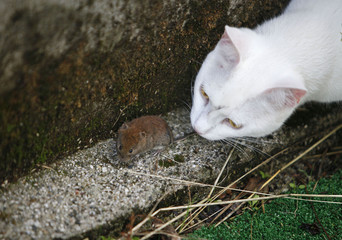 A cat plays with mouse in a courtyard in Medvode