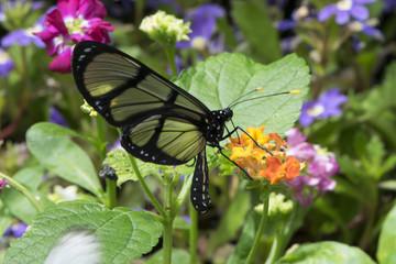 Butterfly 2017-31 / Glasswing butterfly on a flower