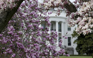 Southern magnolia blossoms are seen on the South Lawn of the White House in Washington