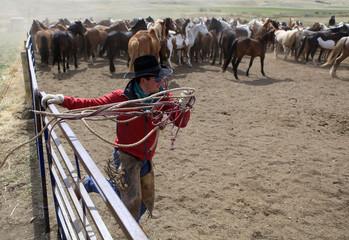 Wrangler Nate Cummins jumps into a corral full of horses during Montana Horses' annual horse drive outside Three Forks
