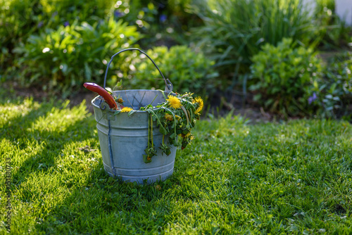 pulling dandelions from lawn and garden in spring