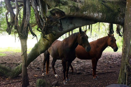 A couple of horses on the grounds of the The Palapala Ho'omau Ch