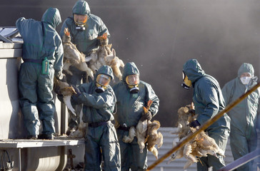 Workers gather ducks to be culled in Latrille