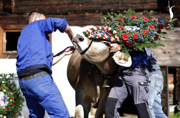 Men prepare a cow with headgear and a bell at 'Klausenalm' near the village of Ginzling