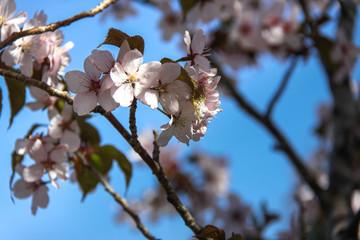 Cherry bloom.