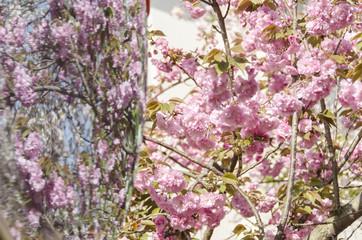 広島造幣局の八重桜