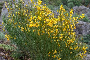 Cytisus scoparius. Escoba negra, Hiniesta. Parque Natural del Lago de Sanabria y alrededores, Zamora.