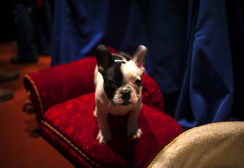 A French Bulldog puppy poses for a portrait at the American Kennel Club (AKC) in New York