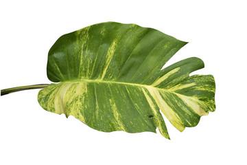 Pothos leaves  isolated on white background