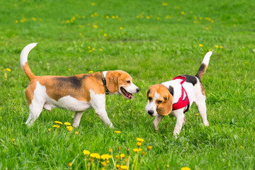 Group of beautiful funny beagle dogs playing outdoors at spring or summer park.