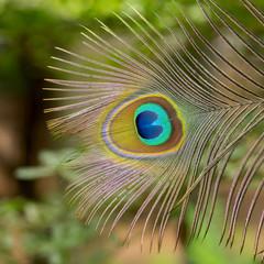 close up peacock feachers