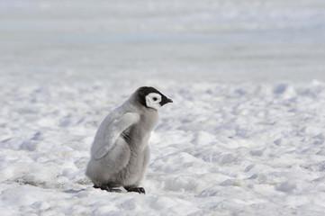 Tuinposter Pinguin Emperor Penguin chicks in Antarctica