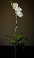 White Orchid on brown dark background