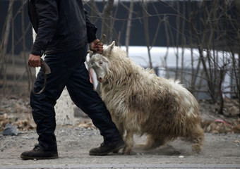 A butcher drags a goat which run away from a slaughterhouse at Dashiwo village, on the outskirts of Beijing