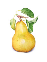 Watercolor illustration of the pear with green leaves