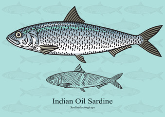 Indian oil sardine. Vector illustration for artwork in small sizes. Suitable for graphic and packaging design, educational examples, web, etc.
