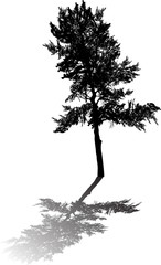 single pine large silhouette with shadow