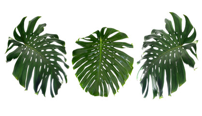Tropical leaves on white background