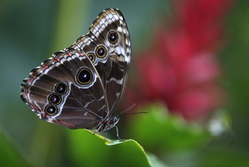 A butterfly sits on a leaf during an exhibition of tropical butterflies at the botanical garden in Prague