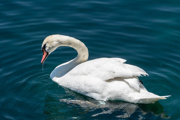 close up of bright white swan in blue water