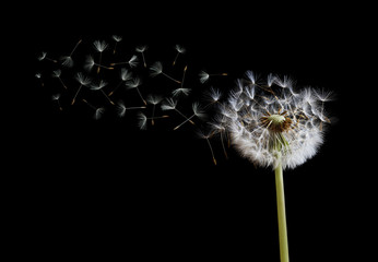 Foto op Aluminium Paardenbloem Dandelion seeds in the wind on black background