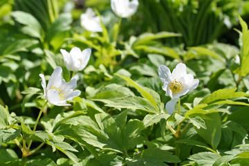 Anemone nemorosa (wood anemone) flowers in oak forest