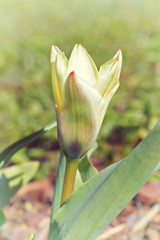 Tulipa Kaufmanniana in early morning