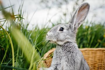 gray rabbit in the garden in the basket