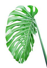 Tropical leaf isolated
