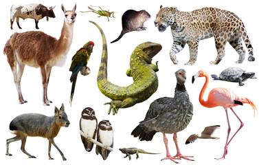 Poster Lama Fauna of South America set
