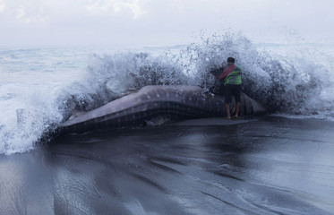 A villager looks closely at a whale shark which died after being stranded on the Pandansimo beach in Bantul