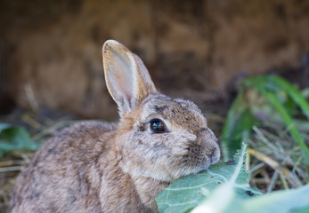 Rabbit. Mammal animal in the farm. Fluffy bunny with cute ear and fur. Small brown, black or gray young sweet domestic pet. Furry rodent. Adorable creature.