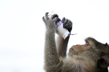 Long-tailed macaque checks a milk bottle after drinking from it during the annual Monkey Buffet Festival at the Pra Prang Sam Yot temple in Lopburi
