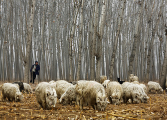 A herdsman takes a rest while he drives his goats at a corn field at Dashiwo village, on the outskirts of Beijing